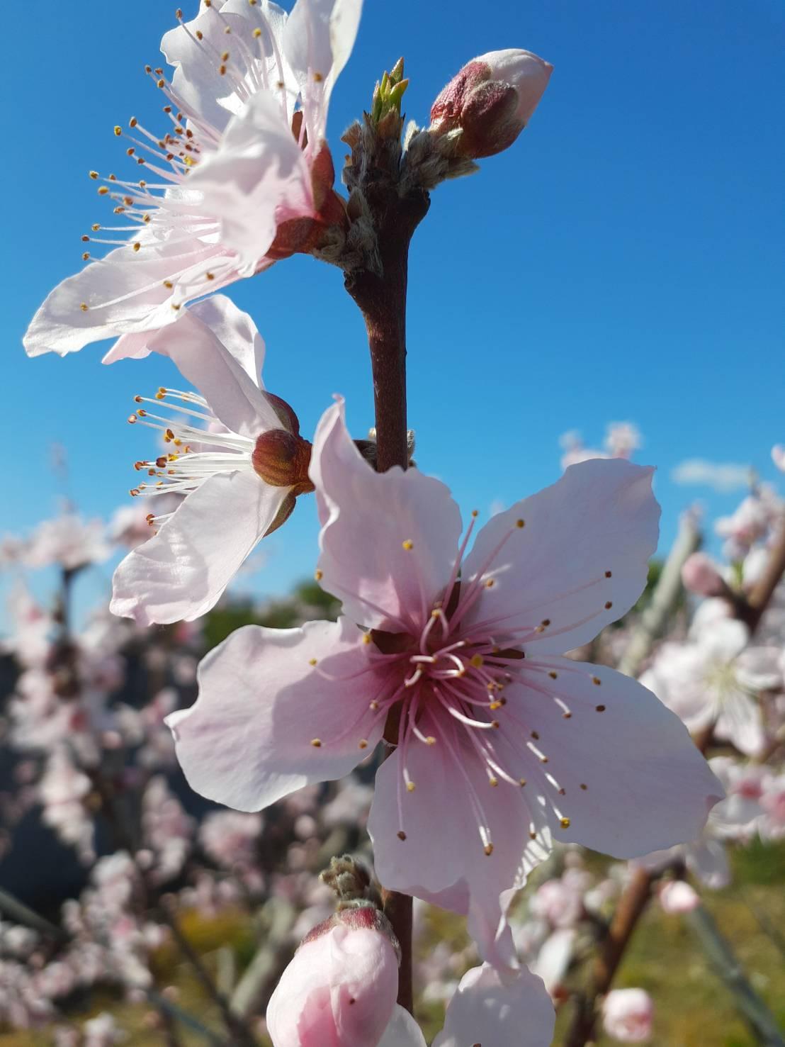 満開の桃の花